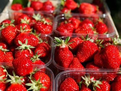 De aardbeien van de Micolombe-boomgaarden