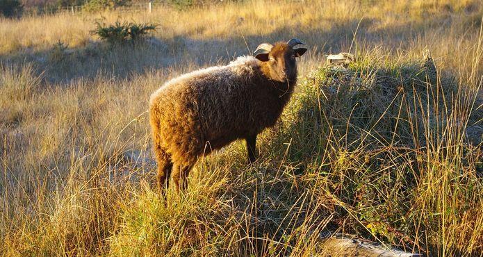 mouton Cap d'Erquy© JRouxel - Office de Tourisme d'ERQUY (22)
