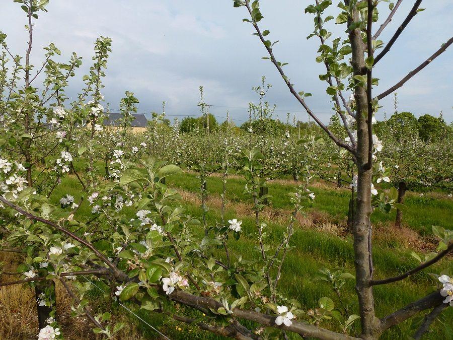 Pommiers en fleurs 004