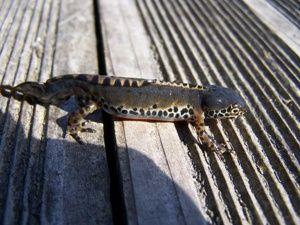 magoar penvern salamandre