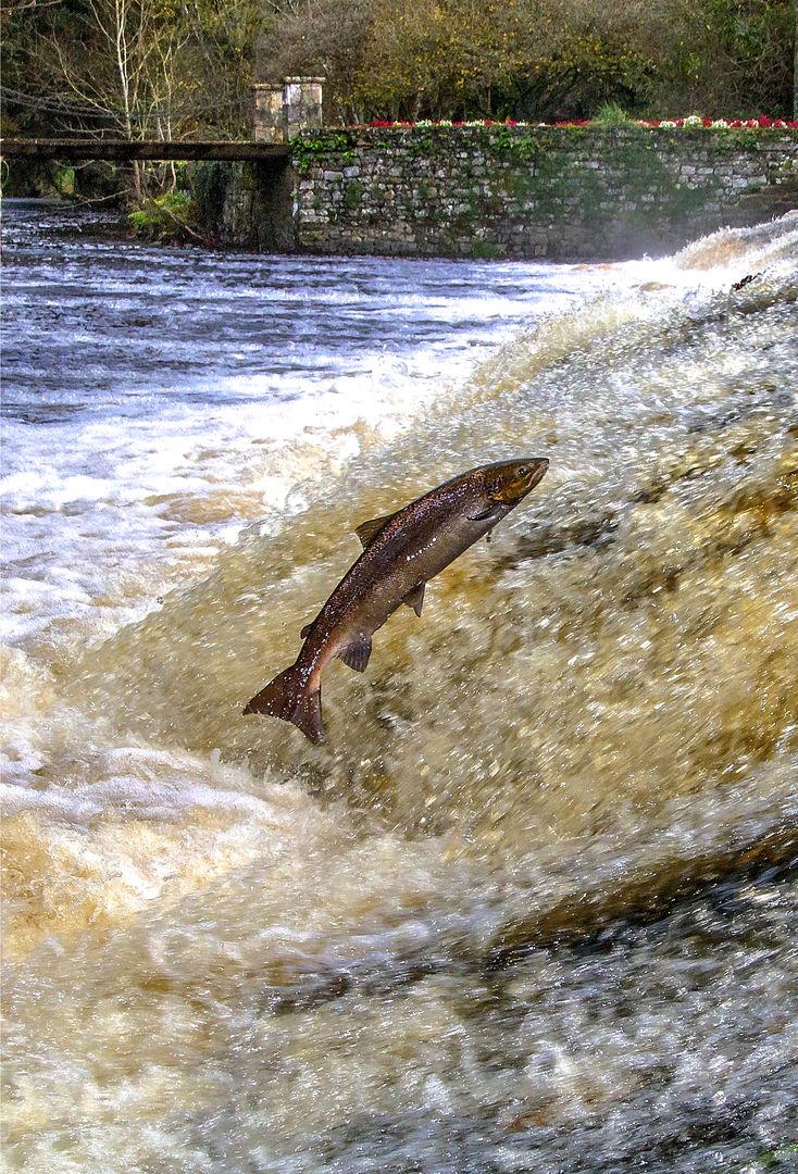 remontée du saumon © C. Le Gac