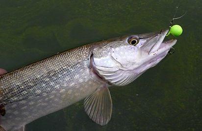 Initiation pêche aux leurres
