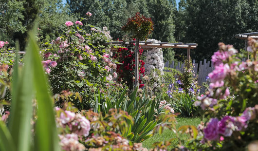 Le jardin de Roses André Eve®