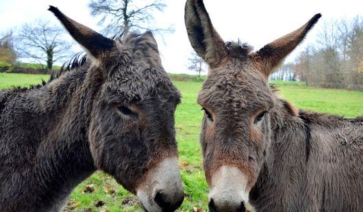 Lédanès / Les ânes de la Baudière